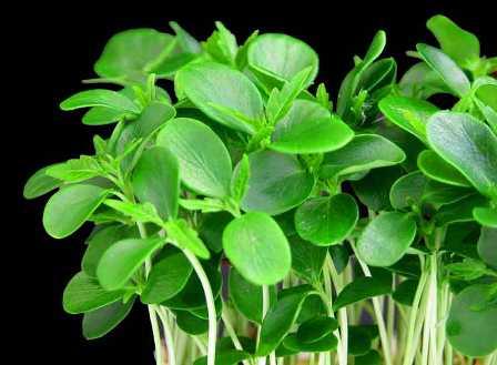Yag yakici bitkiler yağ yakıcı bitkiler